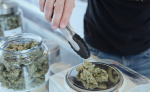 cannabis nugs being weighted