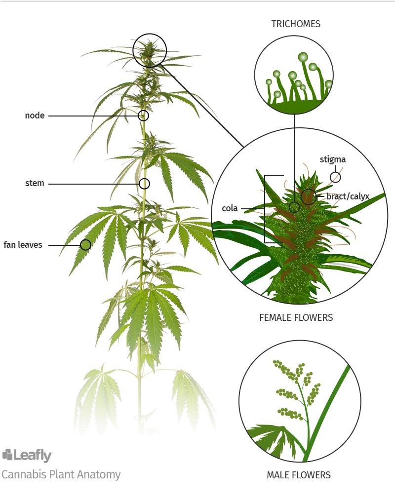 Cannabis plant parts