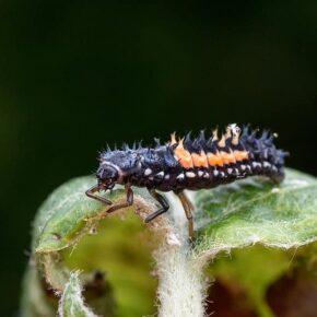 focus on a lady bug larvae