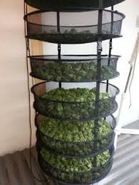 weed drying