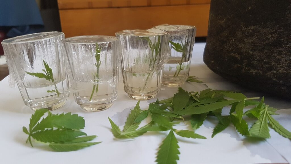 4 branches in water prepared to root into clones