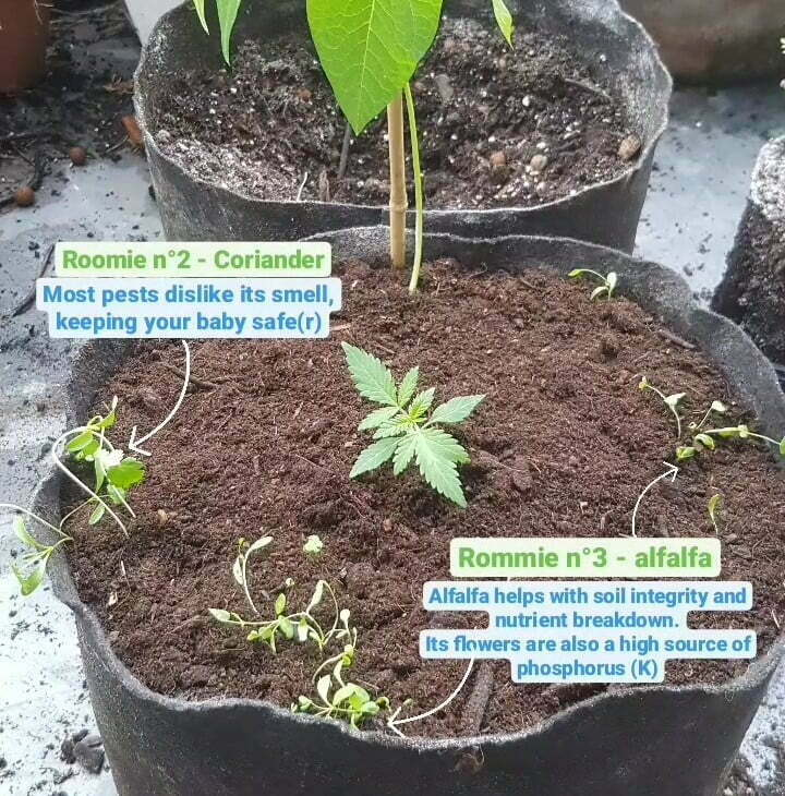 coriander and alfalfa transplanted with cannabis