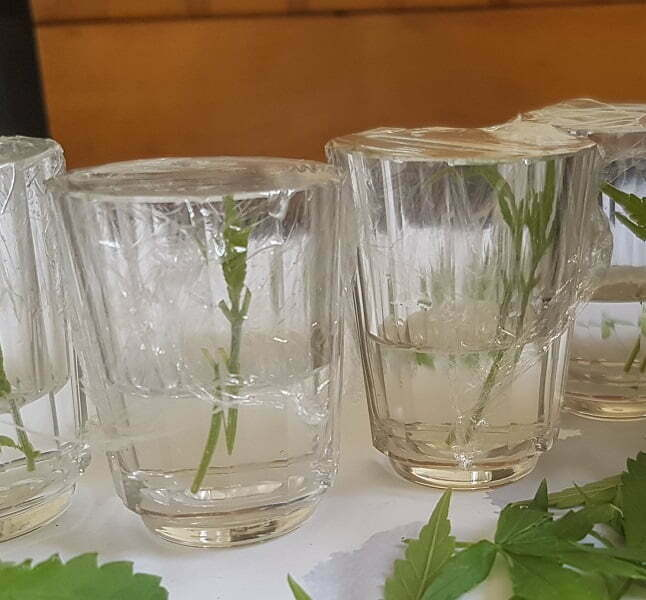 cuttings in sealed cut of water for rooting
