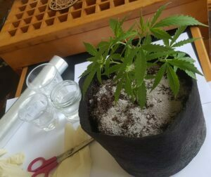 equipment needed to root cannabis