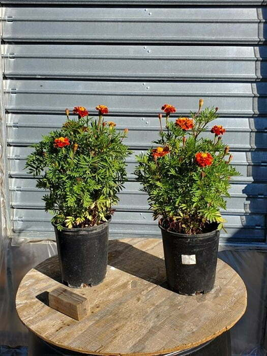 2 french marigold plants ready to place