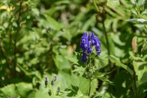 Alfalfa flowering in a garden