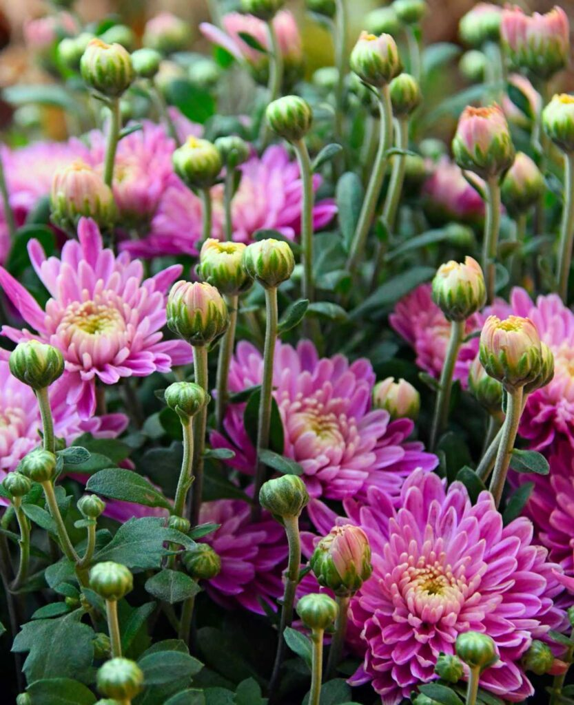 garden of Chrysanthemum plants starting flower