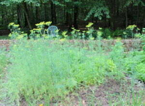 Dill forest