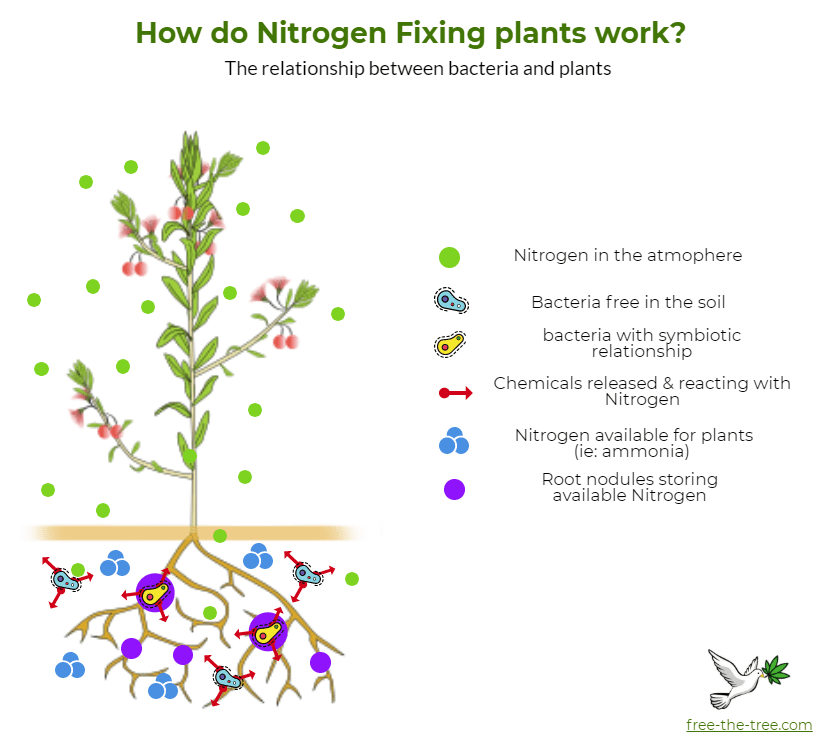 graphic showing how bacteria help break down nitrogen in the atmosphere for plants