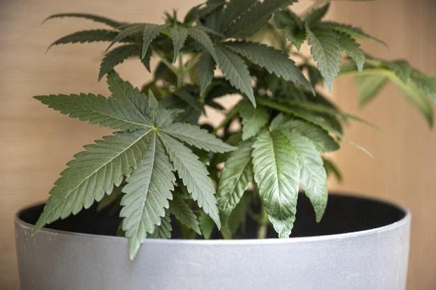 leafy cannabis plant