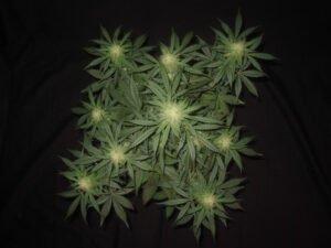 thumbnail 3 Bears OG Autoflowering Seeds