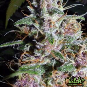 thumbnail M.O.A.B - Mother Of All Buds Feminized Seeds