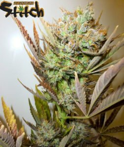 thumbnail Ace Autoflowering Seeds