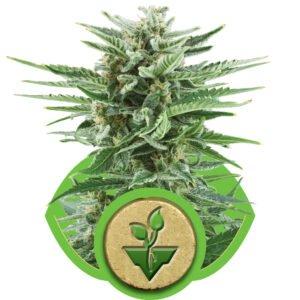 thumbnail Easy Bud Autoflowering Seeds