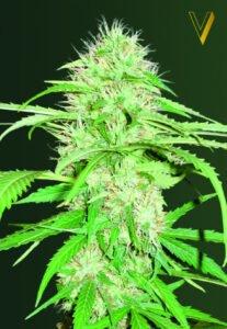 thumbnail Super Mazar Autoflowering Seeds