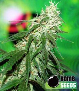 thumbnail Buzz Bomb Feminized Seeds
