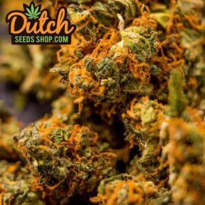 thumbnail California Orange Bud Seeds