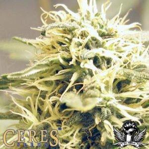 thumbnail Ceres Kush Feminized Seeds