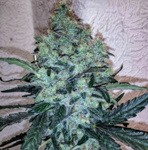 thumbnail Chem Toffees Feminized Seeds