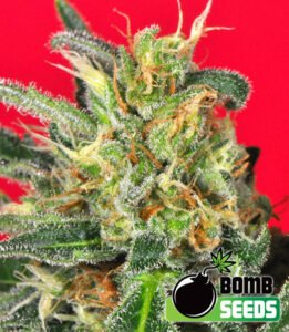 thumbnail Cluster Bomb Feminized Seeds