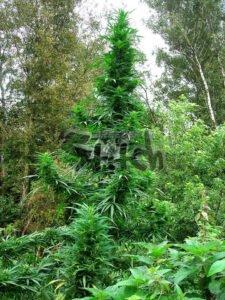 thumbnail Doctor Shiva SuperAutoflowering Seeds