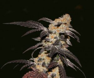 thumbnail French Cookies Feminized Seeds