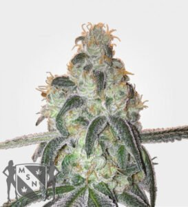 thumbnail Girl Scout Cookies Strain Feminized Seeds