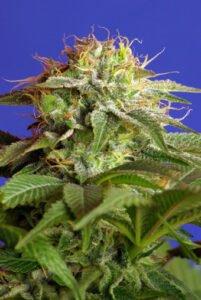 thumbnail Green Poison Feminized Seeds