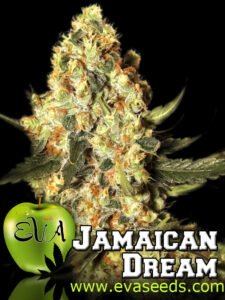 thumbnail Jamaican Dream Feminized Seeds