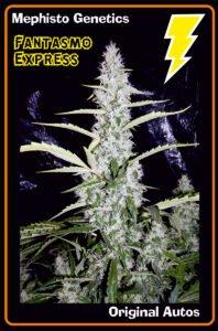 thumbnail Fantasmo Express Autoflowering Seeds