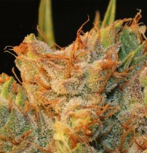 thumbnail MK-Ultra Kush x Bubble Feminized Seeds