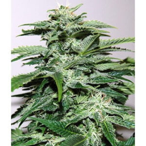 thumbnail Northern Light Special Feminized Seeds
