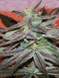 thumbnail Panama D.C. Seeds