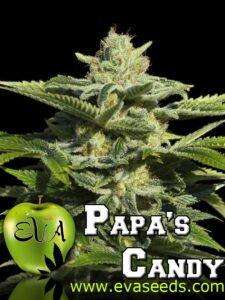 thumbnail Papa's Candy Feminized Seeds