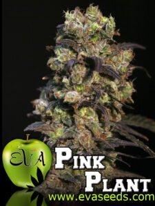 thumbnail Pink Plant Feminized Seeds