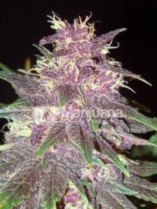 thumbnail Purple Kush Feminized Seeds