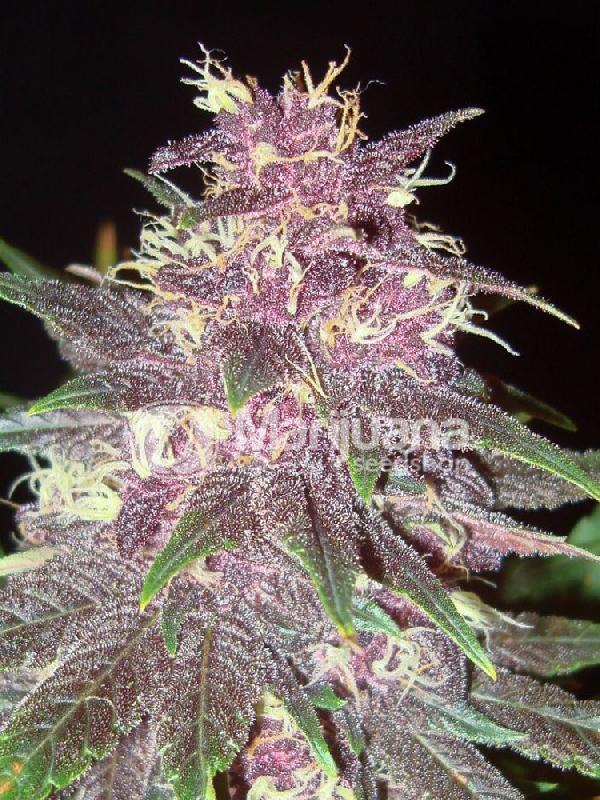 Typical errors Folks Make With Inexpensive Purple Kush Feminized Seeds