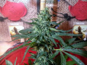 thumbnail Sativa des Rois Feminized Seeds