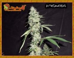 thumbnail Sonic Bloom Autoflowering Seeds