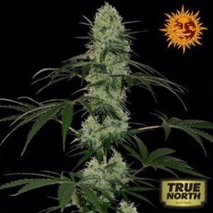 thumbnail Tangerine Dream Autoflowering Seeds