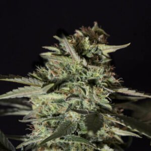thumbnail Medizinal CBD Feminized Seeds