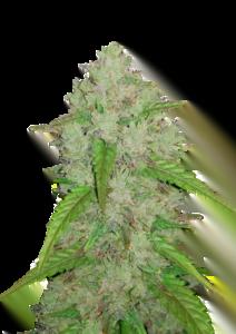 thumbnail Original Amnesia Haze Autoflowering Seeds