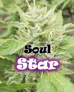 thumbnail Soul Star Feminized Seeds