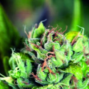 thumbnail Tahoe Cure Feminized Seeds