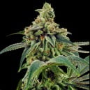 thumbnail Training Day - Limited Collection Feminized Seeds