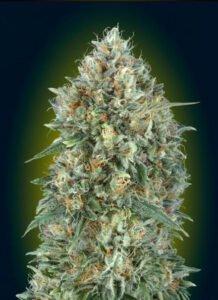thumbnail Gelato #3 Autoflowering Seeds