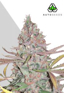 thumbnail Berry Ryder Autoflowering Seeds