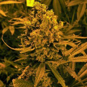 thumbnail Blueberry Kush Autoflowering Seeds