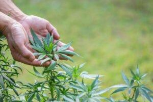 hand touching marijuana leaves