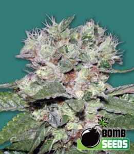 thumbnail Bomb CBD Feminized Seeds